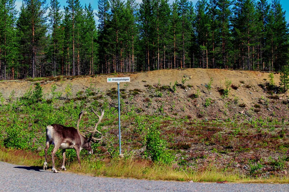 Deers along the E45